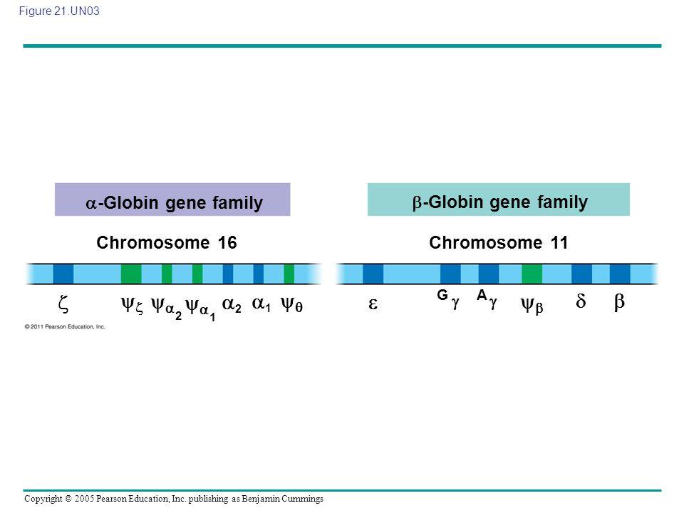 Copyright © 2005 Pearson Education, Inc. publishing as Benjamin Cummings Figure 21.UN03 -Globin gene family Chromosome 16 -Globin gene family Chromoso