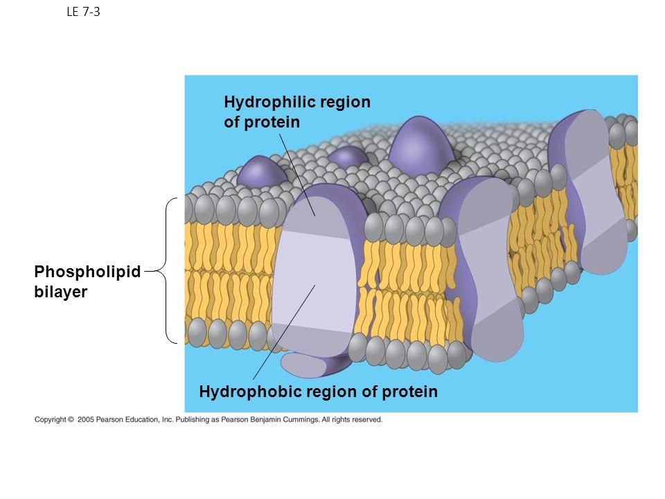 LE 7-3 Hydrophilic region of protein Hydrophobic region of protein Phospholipid bilayer