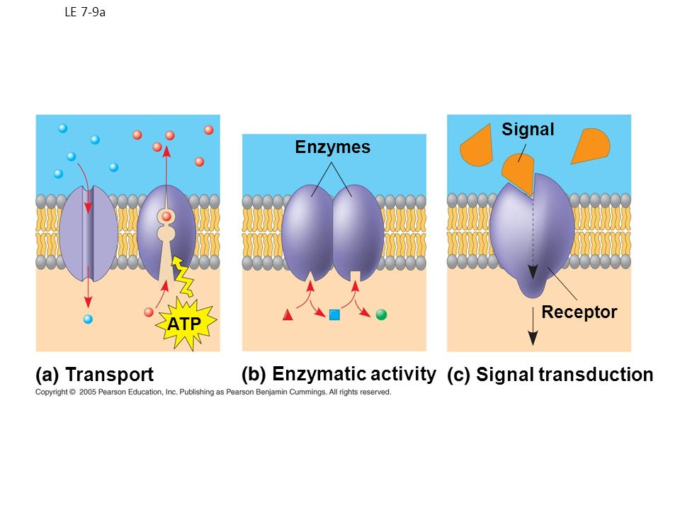 LE 7-9a Enzymes Signal Receptor ATP Transport Enzymatic activity Signal transduction
