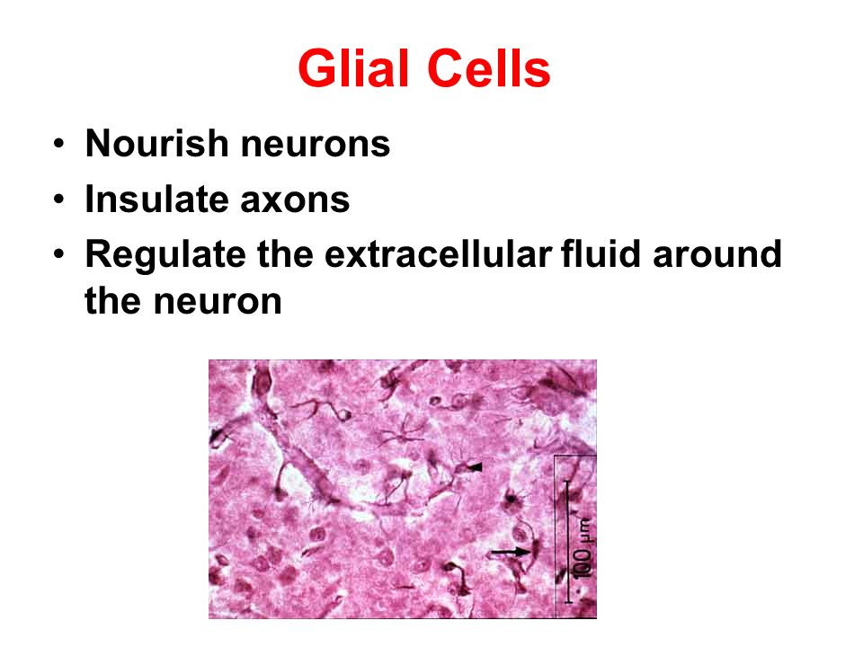 Glial Cells Nourish neurons Insulate axons Regulate the extracellular fluid around the neuron