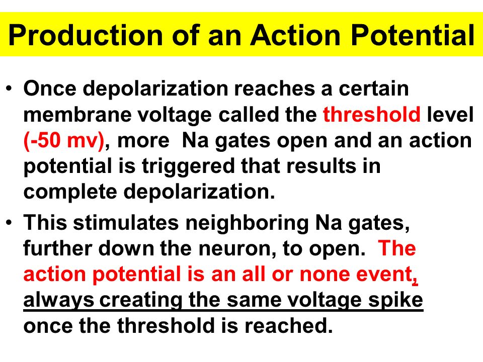 Production of an Action Potential Once depolarization reaches a certain membrane voltage called the threshold level (-50 mv), more Na gates open and an action potential is triggered that results in complete depolarization.