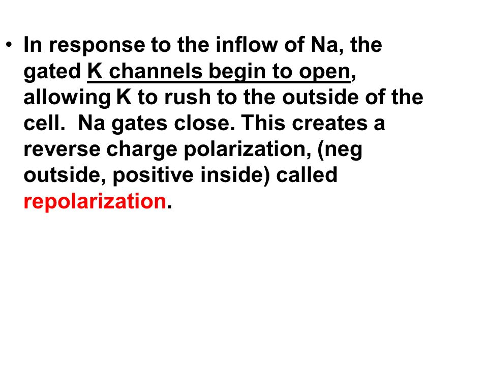 In response to the inflow of Na, the gated K channels begin to open, allowing K to rush to the outside of the cell.