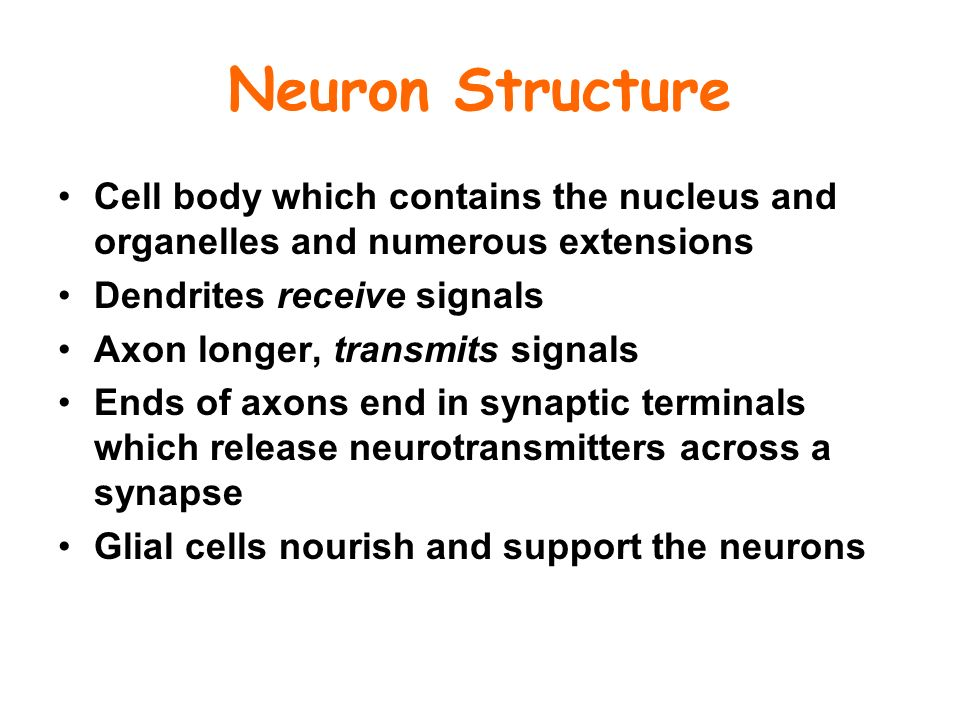 Neuron Structure Cell body which contains the nucleus and organelles and numerous extensions Dendrites receive signals Axon longer, transmits signals Ends of axons end in synaptic terminals which release neurotransmitters across a synapse Glial cells nourish and support the neurons