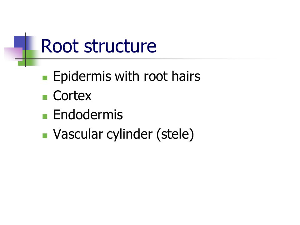 Root structure Epidermis with root hairs Cortex Endodermis Vascular cylinder (stele)
