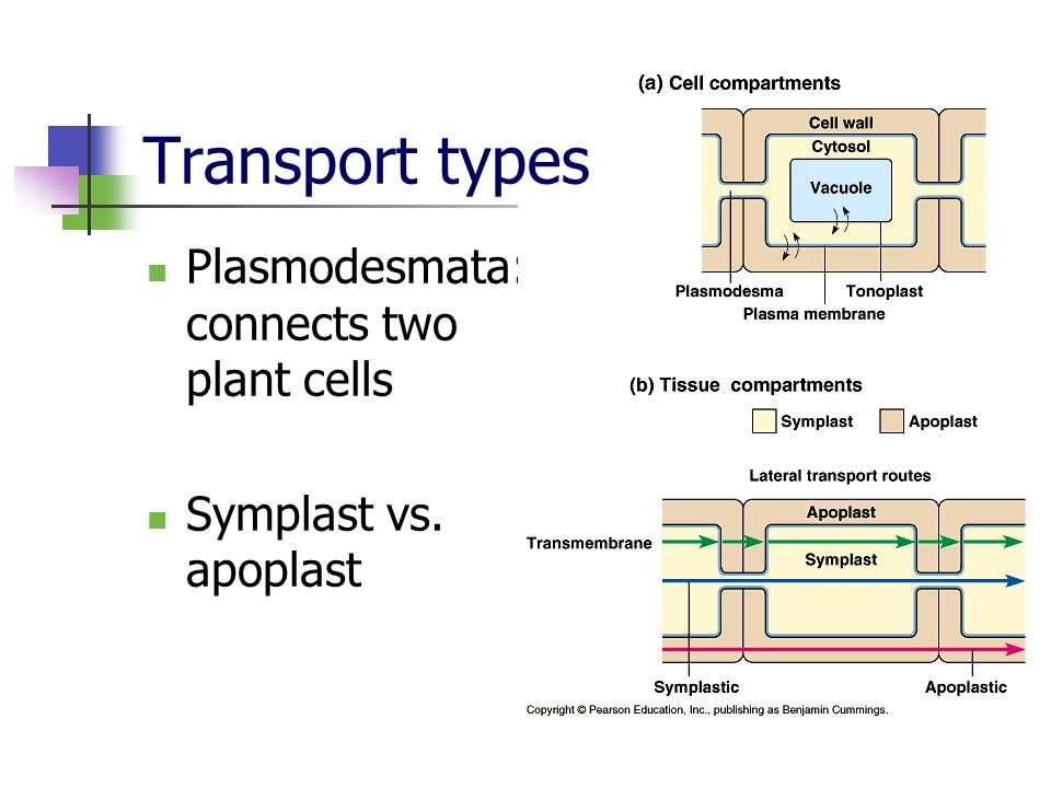 Plasmodesmata: connects two plant cells Symplast vs. apoplast Transport types