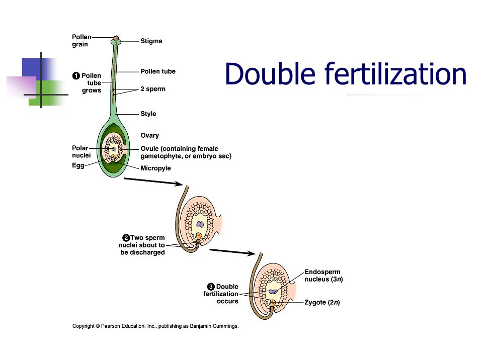 Double fertilization