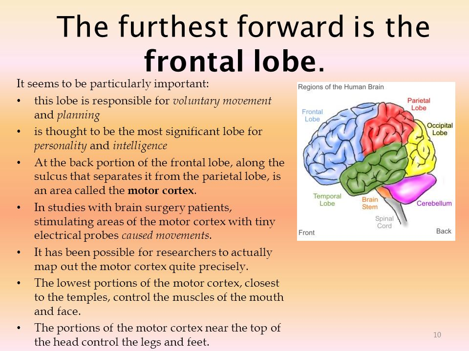 The furthest forward is the frontal lobe. It seems to be particularly important: this lobe is responsible for voluntary movement and planning is thoug