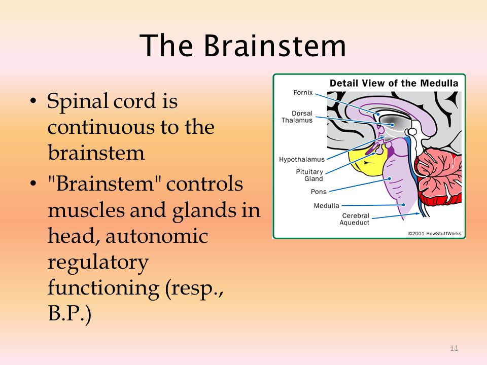 The Brainstem Spinal cord is continuous to the brainstem