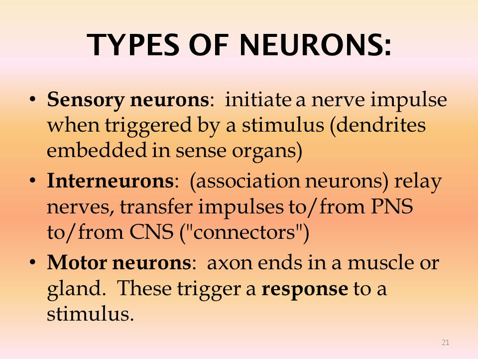 TYPES OF NEURONS: Sensory neurons : initiate a nerve impulse when triggered by a stimulus (dendrites embedded in sense organs) Interneurons : (associa