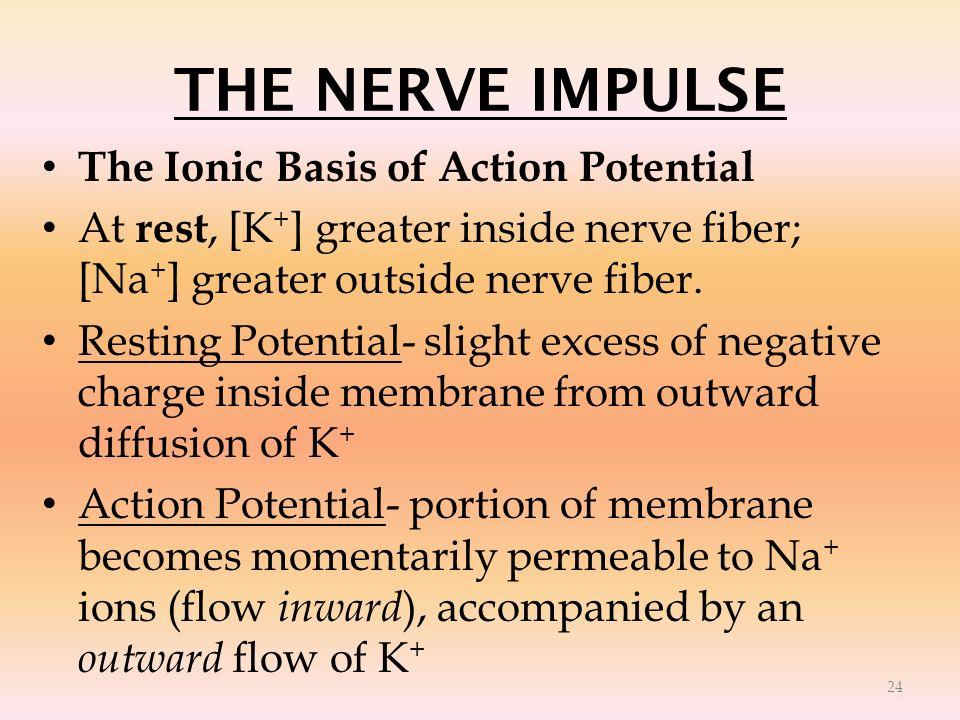 THE NERVE IMPULSE The Ionic Basis of Action Potential At rest, [K + ] greater inside nerve fiber; [Na + ] greater outside nerve fiber. Resting Potenti