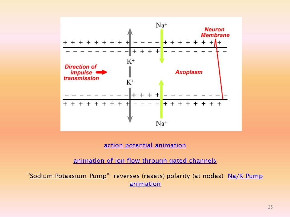 action potential animation animation of ion flow through gated channels action potential animation animation of ion flow through gated channels