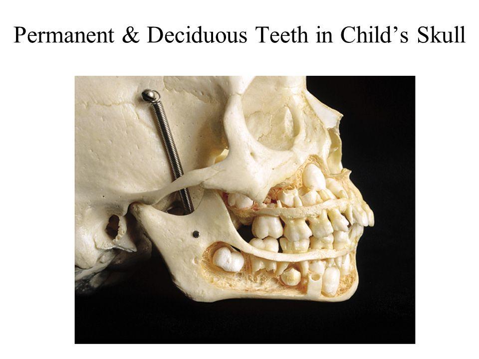 Permanent & Deciduous Teeth in Childs Skull