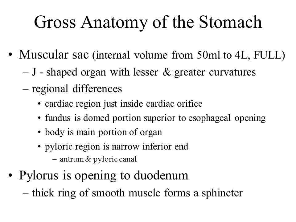Gross Anatomy of the Stomach Muscular sac (internal volume from 50ml to 4L, FULL) –J - shaped organ with lesser & greater curvatures –regional differe