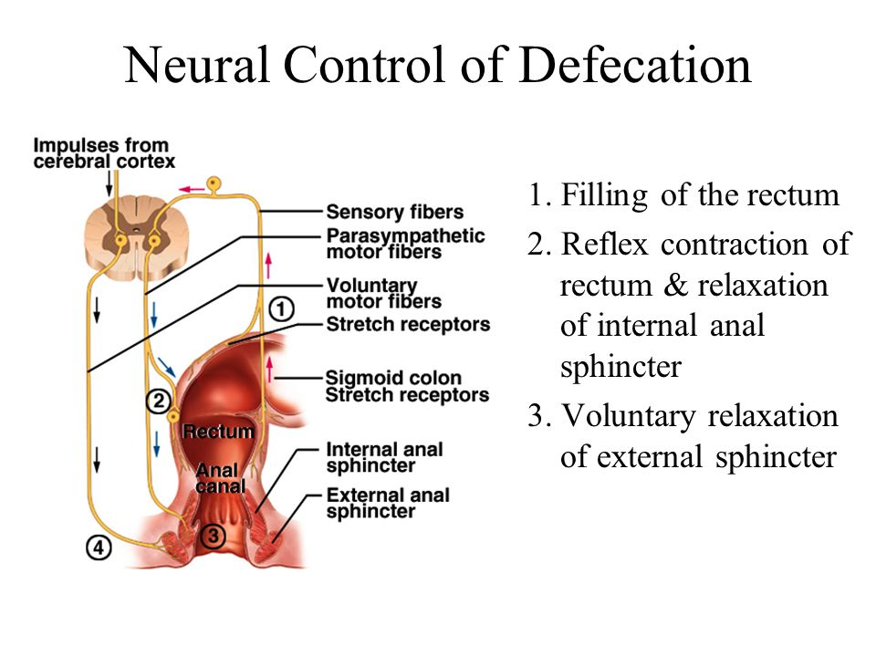 Neural Control of Defecation 1. Filling of the rectum 2. Reflex contraction of rectum & relaxation of internal anal sphincter 3. Voluntary relaxation