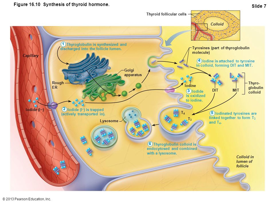 © 2013 Pearson Education, Inc. Figure 16.10 Synthesis of thyroid hormone. Slide 7 Thyroglobulin is synthesized and discharged into the follicle lumen.