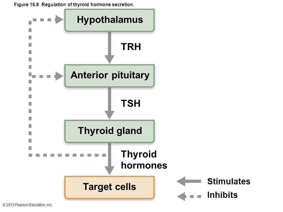 © 2013 Pearson Education, Inc. Hypothalamus TRH Anterior pituitary TSH Thyroid gland Thyroid hormones Target cells Stimulates Figure 16.8 Regulation o