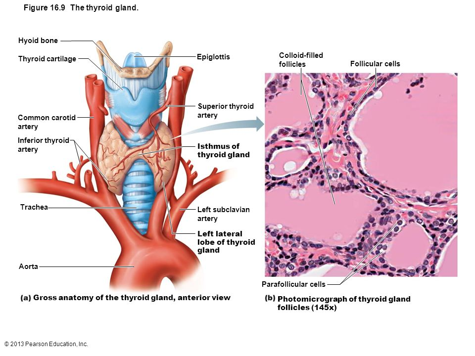 © 2013 Pearson Education, Inc.Figure 16.17 Stress and the adrenal gland.