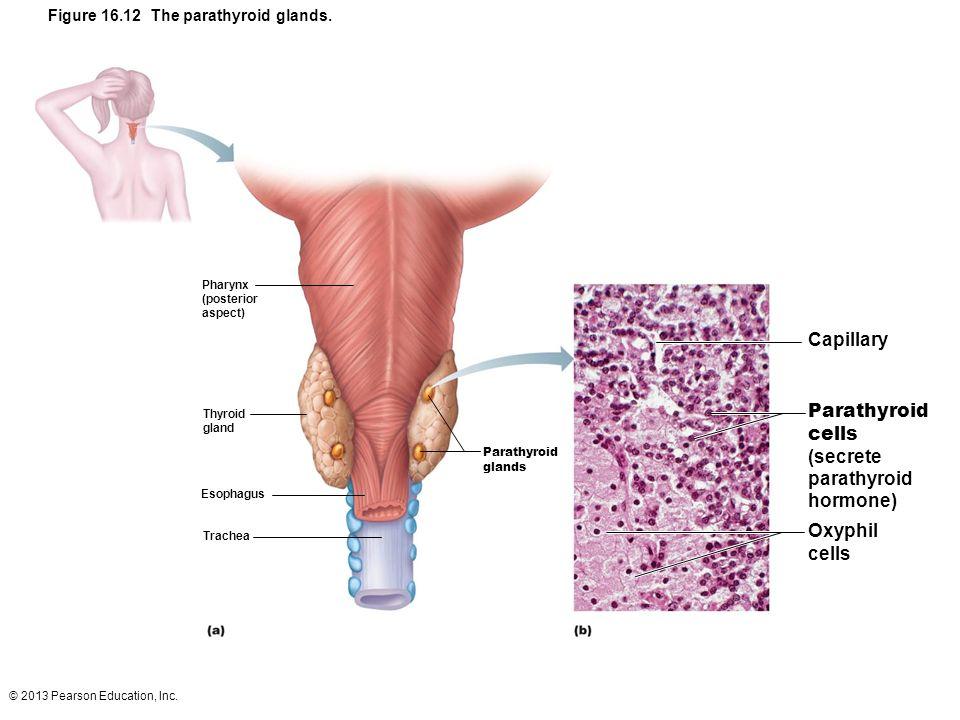 © 2013 Pearson Education, Inc. Figure 16.12 The parathyroid glands. Parathyroid glands Parathyroid cells (secrete parathyroid hormone) Capillary Oxyph