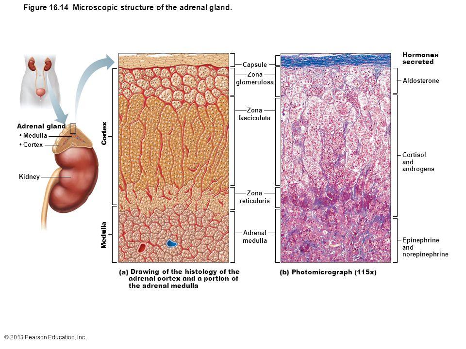 © 2013 Pearson Education, Inc. Figure 16.14 Microscopic structure of the adrenal gland. Medulla Cortex Capsule Zona glomerulosa Zona fasciculata Zona