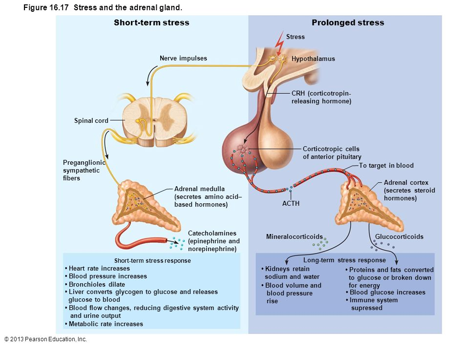 © 2013 Pearson Education, Inc. Figure 16.17 Stress and the adrenal gland. Short-term stressProlonged stress Nerve impulses Spinal cord Preganglionic s