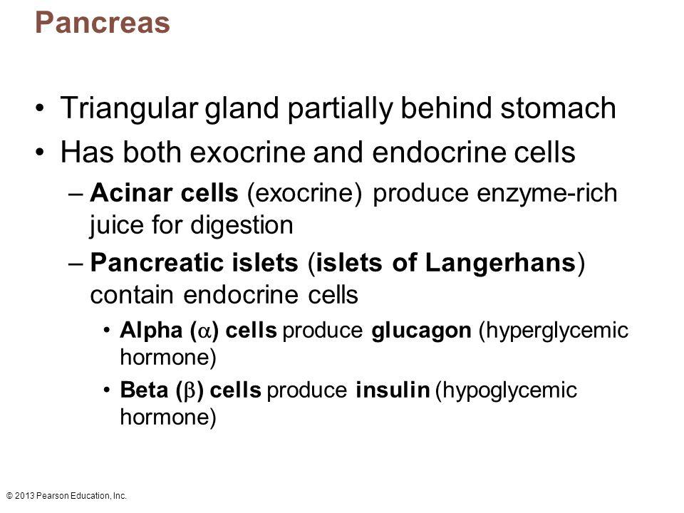 © 2013 Pearson Education, Inc. Pancreas Triangular gland partially behind stomach Has both exocrine and endocrine cells –Acinar cells (exocrine) produ