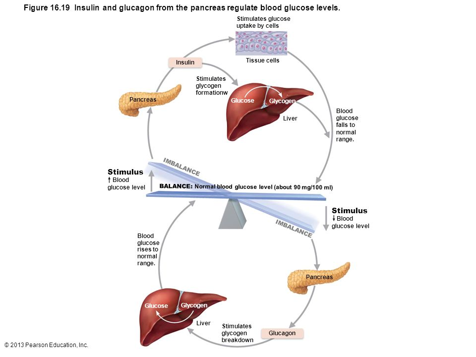 © 2013 Pearson Education, Inc. Figure 16.19 Insulin and glucagon from the pancreas regulate blood glucose levels. Stimulates glucose uptake by cells I