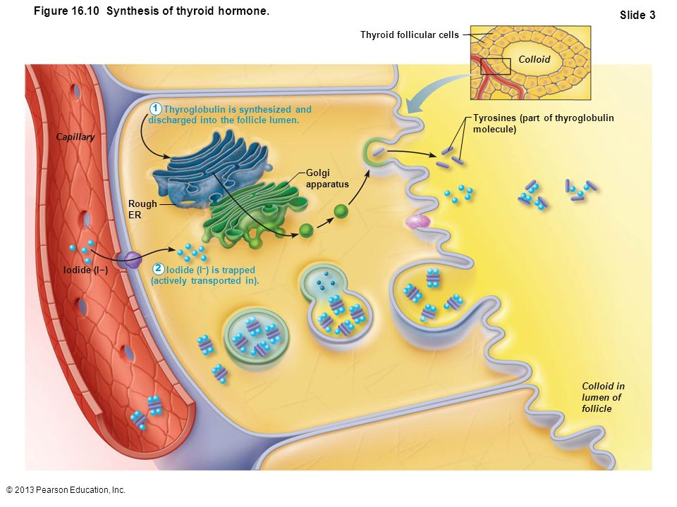 © 2013 Pearson Education, Inc. Figure 16.10 Synthesis of thyroid hormone. Slide 3 Thyroglobulin is synthesized and discharged into the follicle lumen.