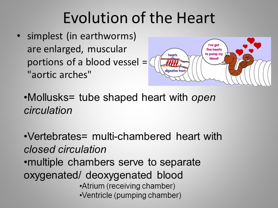 Evolution of the Heart simplest (in earthworms) are enlarged, muscular portions of a blood vessel =