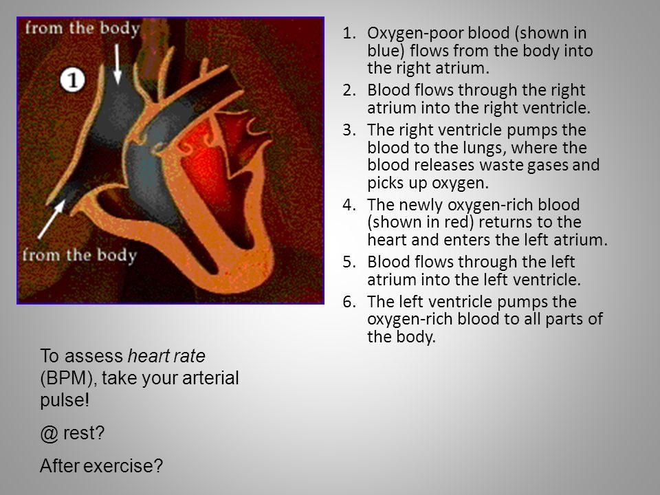 1.Oxygen-poor blood (shown in blue) flows from the body into the right atrium. 2.Blood flows through the right atrium into the right ventricle. 3.The