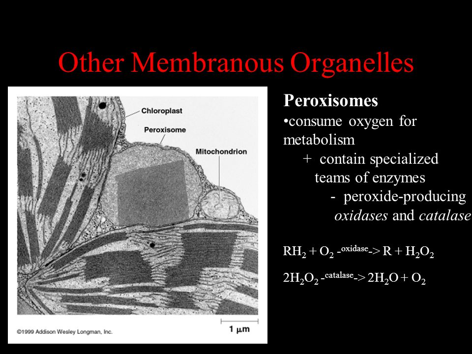 Other Membranous Organelles Peroxisomes consume oxygen for metabolism + contain specialized teams of enzymes - peroxide-producing oxidases and catalas