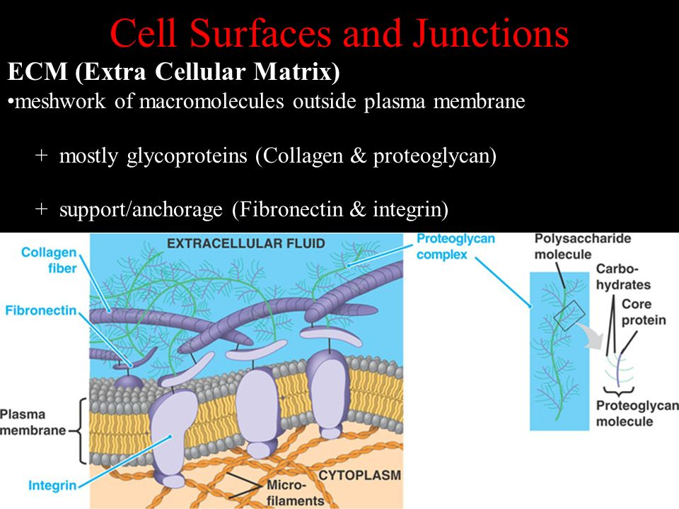 Cell Surfaces and Junctions ECM (Extra Cellular Matrix) meshwork of macromolecules outside plasma membrane + mostly glycoproteins (Collagen & proteogl