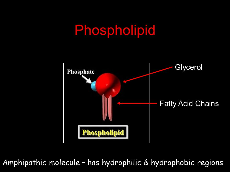 Phospholipid Glycerol Fatty Acid Chains Amphipathic molecule – has hydrophilic & hydrophobic regions