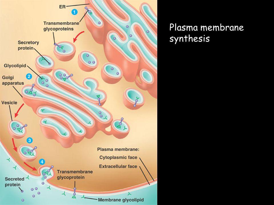 Plasma membrane synthesis