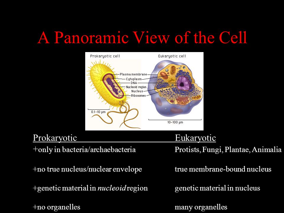 A Panoramic View of the Cell ProkaryoticEukaryotic + only in bacteria/archaebacteriaProtists, Fungi, Plantae, Animalia +no true nucleus/nuclear envelo