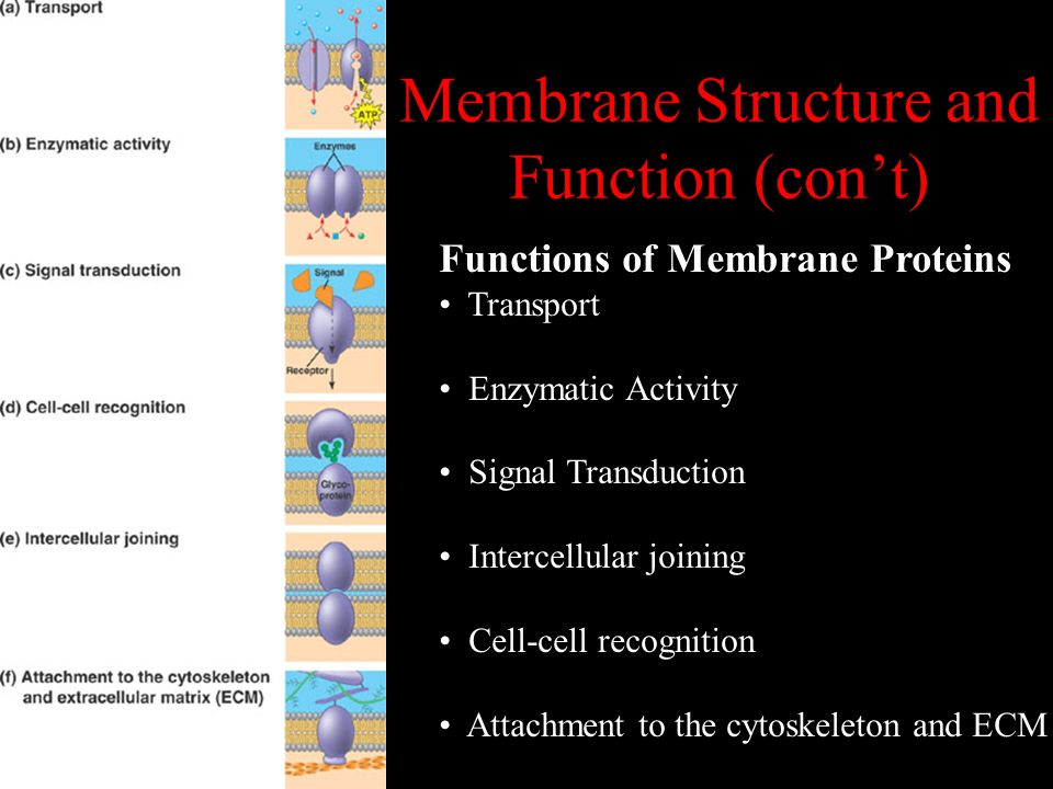 Membrane Structure and Function (cont) Functions of Membrane Proteins Transport Enzymatic Activity Signal Transduction Intercellular joining Cell-cell
