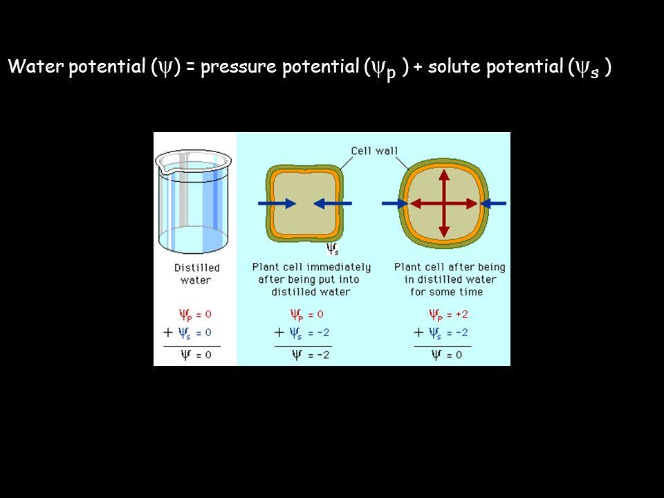Water potential ( ψ ) = pressure potential ( ψ p ) + solute potential ( ψ s )