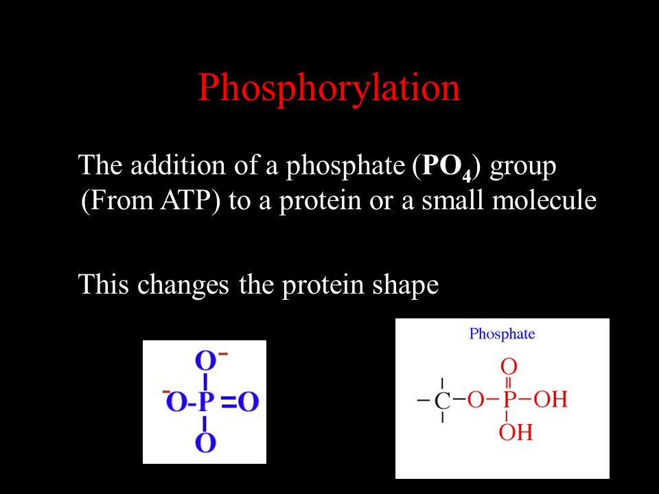 Phosphorylation The addition of a phosphate (PO 4 ) group (From ATP) to a protein or a small molecule This changes the protein shape