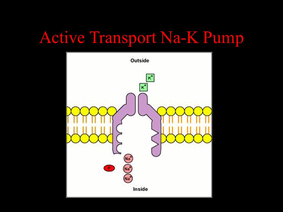 Active Transport Na-K Pump