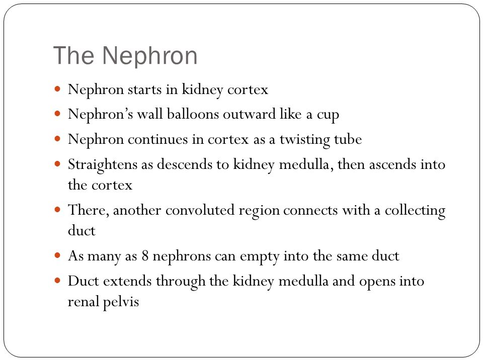 The Nephron Nephron starts in kidney cortex Nephrons wall balloons outward like a cup Nephron continues in cortex as a twisting tube Straightens as de