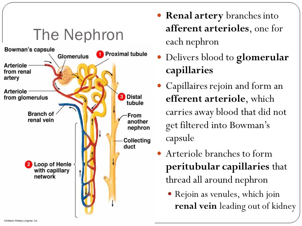 The Nephron Renal artery branches into afferent arterioles, one for each nephron Delivers blood to glomerular capillaries Capillaires rejoin and form