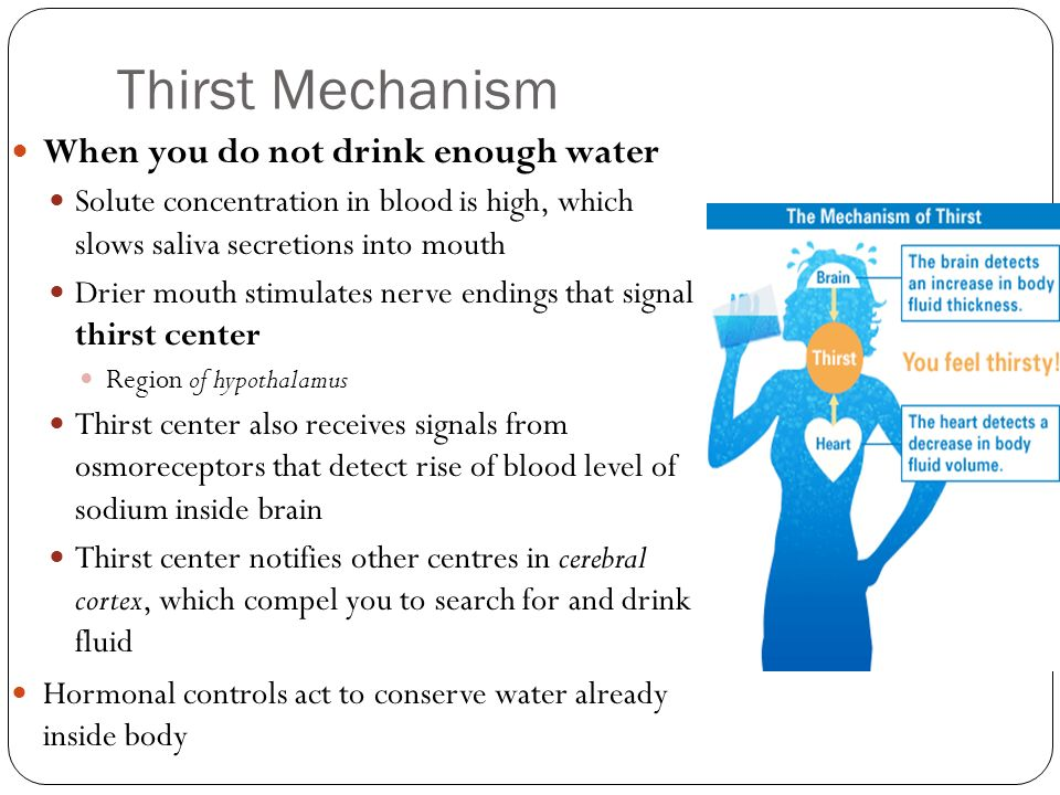 Thirst Mechanism When you do not drink enough water Solute concentration in blood is high, which slows saliva secretions into mouth Drier mouth stimul