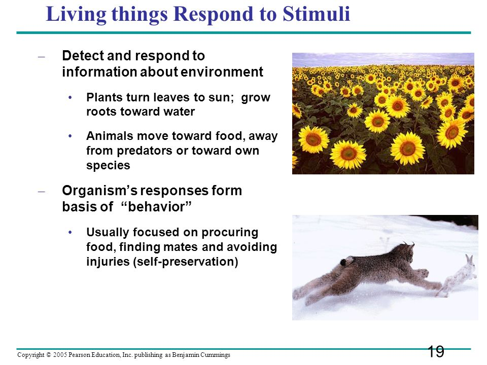 Copyright © 2005 Pearson Education, Inc. publishing as Benjamin Cummings Living things Respond to Stimuli – Detect and respond to information about en