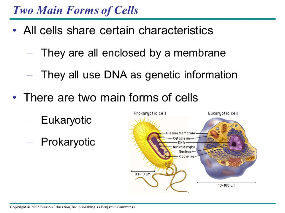 Copyright © 2005 Pearson Education, Inc. publishing as Benjamin Cummings Two Main Forms of Cells All cells share certain characteristics – They are al