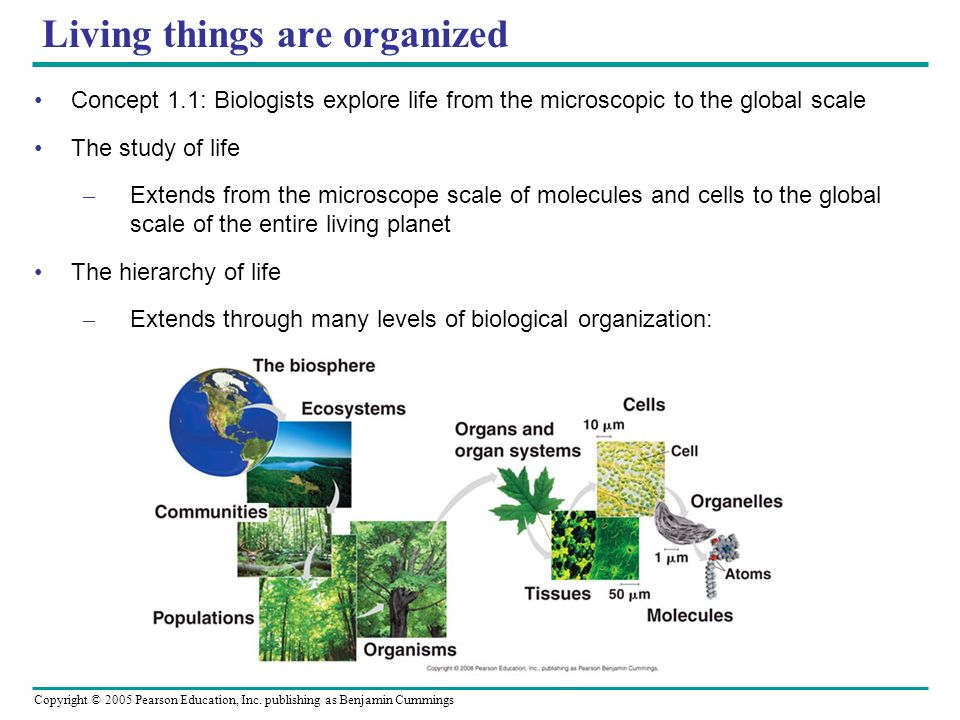 Copyright © 2005 Pearson Education, Inc. publishing as Benjamin Cummings Living things are organized Concept 1.1: Biologists explore life from the mic