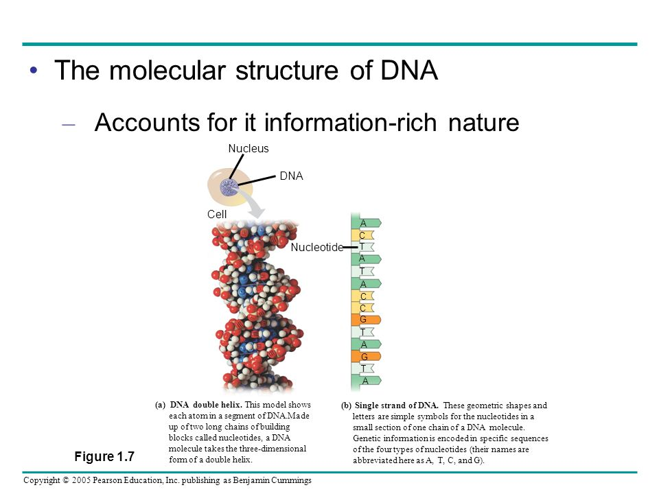 Copyright © 2005 Pearson Education, Inc. publishing as Benjamin Cummings The molecular structure of DNA – Accounts for it information-rich nature DNA