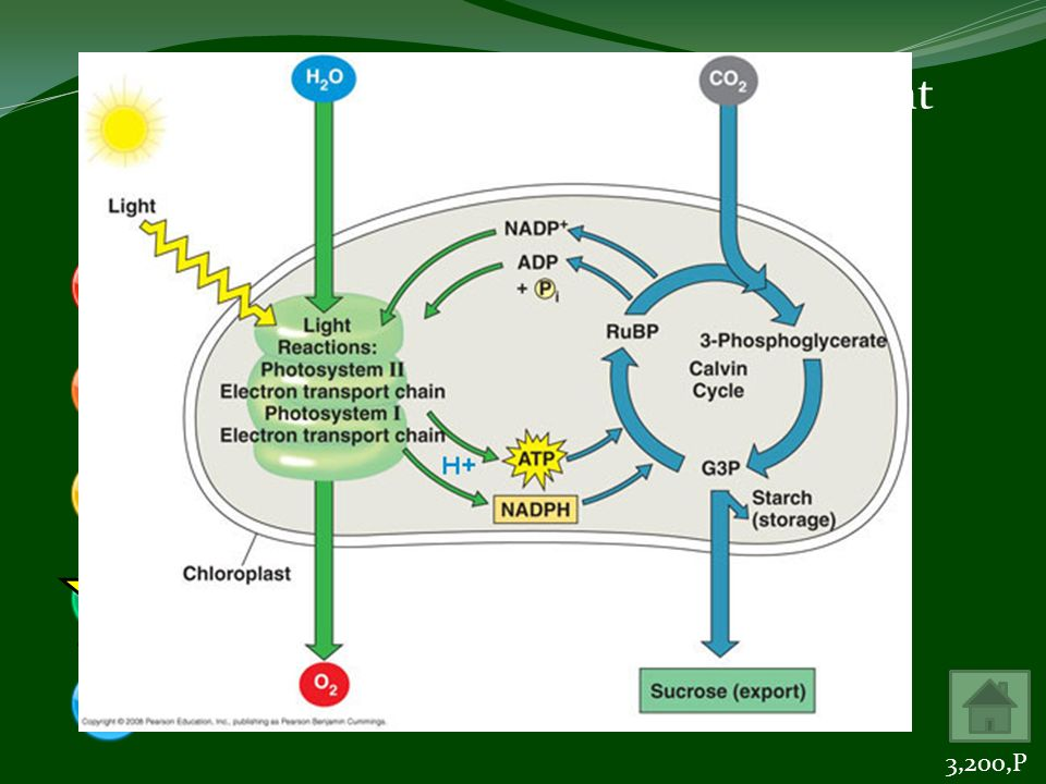 The end products of the light-dependent reactions of photosynthesis are ADP, H 2 O, NADPH 2 ADP, PGAL, RuBP (RuDP)ATP, CO 2, H 2 OATP, NADPH 2, O 2 CO