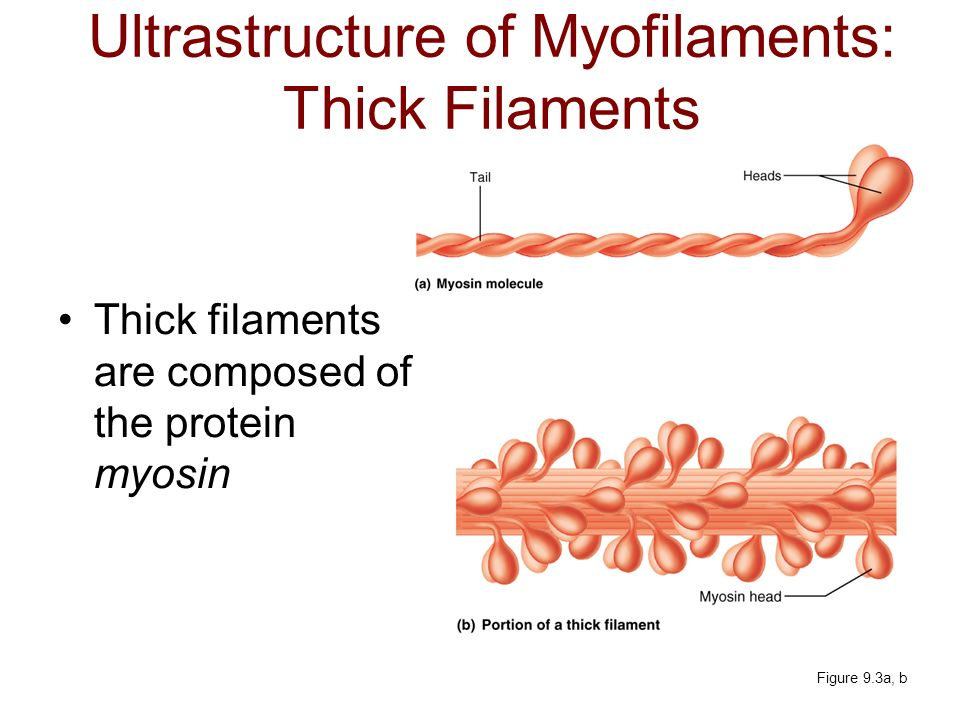 Ultrastructure of Myofilaments: Thick Filaments Thick filaments are composed of the protein myosin Figure 9.3a, b