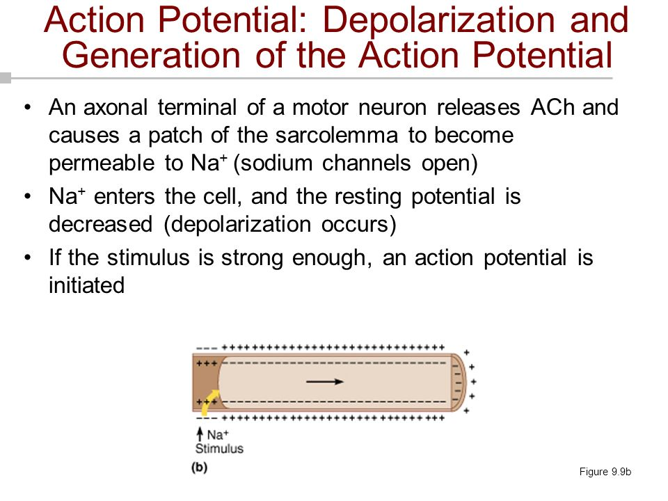 An axonal terminal of a motor neuron releases ACh and causes a patch of the sarcolemma to become permeable to Na + (sodium channels open) Na + enters