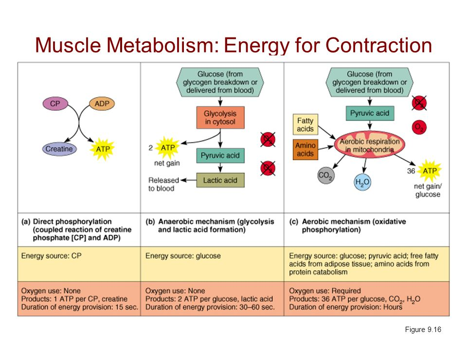 Muscle Metabolism: Energy for Contraction Figure 9.16