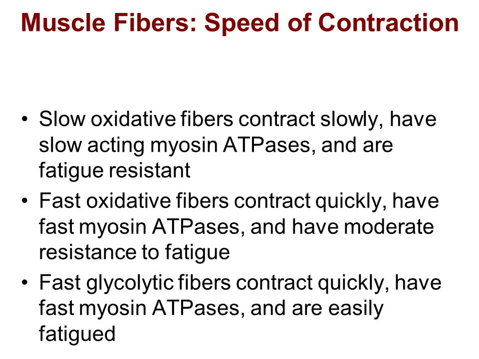 Muscle Fibers: Speed of Contraction Slow oxidative fibers contract slowly, have slow acting myosin ATPases, and are fatigue resistant Fast oxidative f